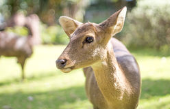 Face of deer mammal animal in park Royalty Free Stock Photo
