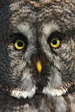 Face detail of bird. Detail portrait of grey owl. Detail face portrait of bird, big orange eyes and bill, Great grey owl. Rare wil Stock Images