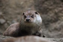 Face detail of North American river otter Stock Image