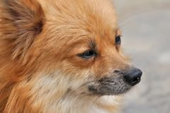 Face detail of a pomeranian dog Stock Photos