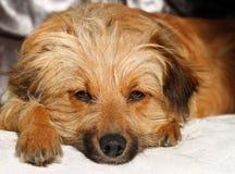 Face do cão imagens de stock royalty free