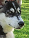 Face do cão de puxar trenós Fotografia de Stock