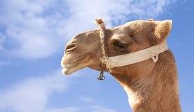 Face do camelo Imagens de Stock Royalty Free