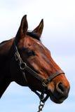 Face do cavalo Imagem de Stock Royalty Free