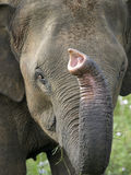 Face do elefante Foto de Stock Royalty Free