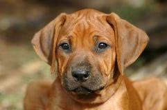 Face do filhote de cachorro Imagem de Stock