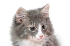 Face do gatinho Imagens de Stock Royalty Free