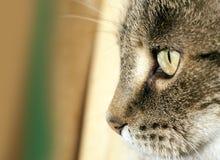 Face do gato Foto de Stock Royalty Free