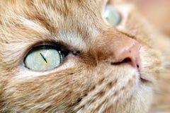 Face do gato imagens de stock royalty free