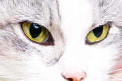 Face do gato bonito Foto de Stock Royalty Free