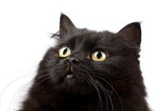 Face do gato preto bonito isolado foto de stock royalty free