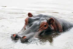 Face do hipopótamo imagem de stock