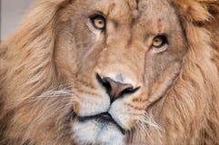 Face do leão fotografia de stock