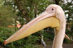 Face do pelicano que olha engraçada Fotos de Stock Royalty Free