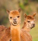 Face do smiley das alpacas de Brown Fotografia de Stock