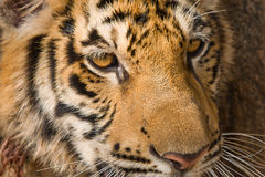Face do tigre imagens de stock