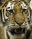 Face do tigre imagem de stock royalty free