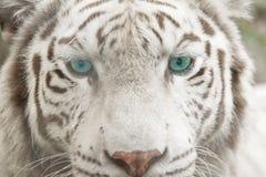 face do tigre do albino Fotografia de Stock