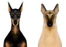 Face of dogs, Doberman pinscher and german shepherd Royalty Free Stock Images