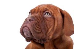 Face of a Dogue de Bordeaux Royalty Free Stock Photo