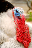 Face of domestic turkey. Royalty Free Stock Photos