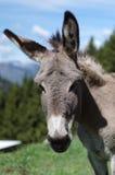 Face of donkey Royalty Free Stock Image