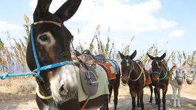 Face of donkey tied up to tree, line of animals standing behind, transportation. Stock footage stock video footage