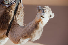 Face of a dromedary (camel). Closeup of a dromedary (camel) in the Sahara desert, Morocco Royalty Free Stock Photography