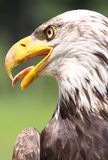 Face of eagle. Face of bald eagle in nature Royalty Free Stock Photo