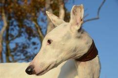 Podenco dog face portrait stock photography