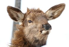 Face of elk. Face of baby elk in nature Stock Photos
