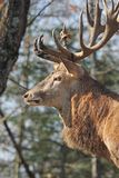 Face of elk Royalty Free Stock Photo