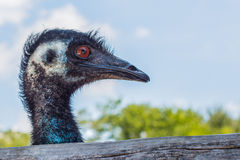 Face of emu right side Royalty Free Stock Photo