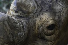 Face Of An Endangered Black Rhinoceros diceros bicornis royalty free stock photo