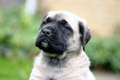 Face of the English Mastiff Stock Images