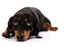 Face engraçada do cão Fotos de Stock Royalty Free