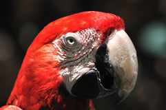 Face and eye feature of a macaw Royalty Free Stock Images