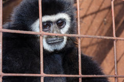 Face and eyes downcast of gibbon in a cage Stock Image