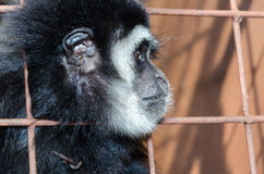 Face and eyes downcast of gibbon in a cage Royalty Free Stock Photos