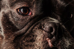 Face, eyes and nose of a cute french bulldog. Puppy dog, closeup picture royalty free stock photos