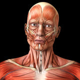 Face facial muscles - Human anatomy. Full anterior face / facial muscles of adult male / man - Human anatomy royalty free illustration