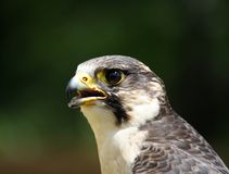 Face of falcon. In nature Stock Image