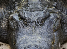 Face of Fat Alligator on Ground Stock Photo