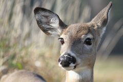 Face of female deer Royalty Free Stock Image