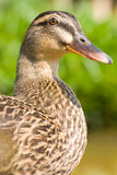 Face of female wild duck. Stock Photos