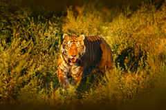 Face fixed tiger look. Siberian tiger in evening sun. Amur tiger in sunset grass. Action wildlife winter with danger animal. Summe stock photo