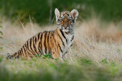 Face fixed tiger look. Young tiberian tiger in grass. Amur tiger running in the meadow. Action wildlife winter scene with danger a stock photography