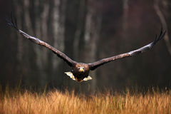 Face flight, Haliaeetus albicilla, White-tailed Eagle, birds of prey with forest in background Royalty Free Stock Photos