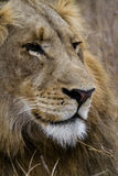 The face of the force. Face of lion in southafrica Stock Image