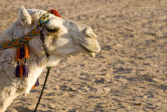 Face of funny camel. On the desert in Egypt Royalty Free Stock Photography